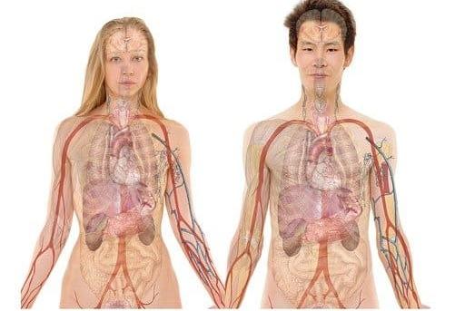 Organe Mensch